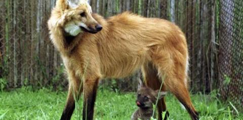Banco Central lançará cédula de R$ 200 com imagem de lobo-guará