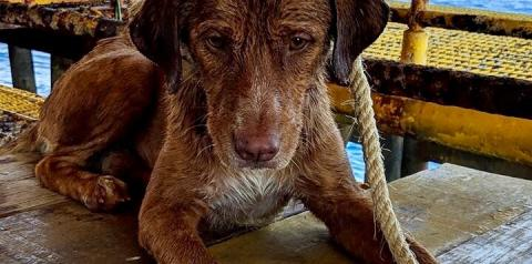 Mistério cerca resgate de cachorro que nadava a 220 km  da costa tailandesa