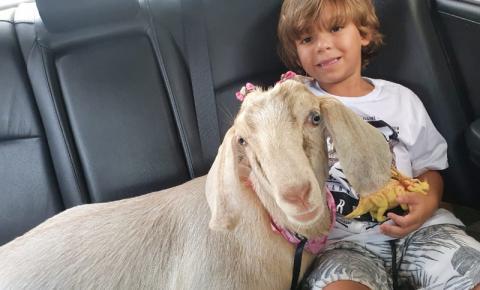Cabra de estimação faz sucesso em Santa Bárbara d'Oeste