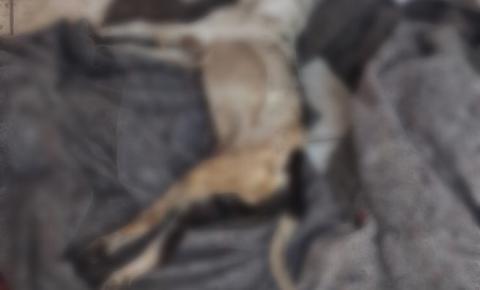 Pitbull vítima de maus tratos é encontrado morto em Americana