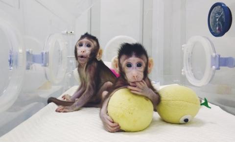 Cientistas usam técnica que criou ovelha Dolly para clonar macacos com sucesso