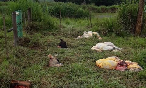 Vacas do IZ são mortas em Nova Odessa