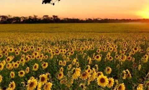 Santa Bárbara tem campo de girassóis em área rural