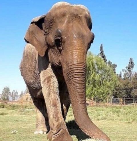 Dois meses depois de se mudar para santuário, elefanta Ramba morre